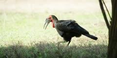 Ground Hornbill - walking through trees into sunlight, medium wide shot