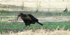 Ground Hornbill - foraging, walks out of frame, medium wide shot