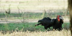 Ground Hornbill - pair foraging, medium wide