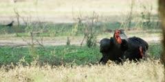 Ground Hornbill - pair foraging, medium wide 2
