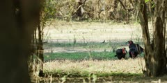 Ground Hornbill - flock foraging under trees, wide