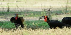 Ground Hornbill - foraging, catches frog, medium