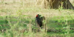 Ground Hornbill - foraging, medium shot, through grass