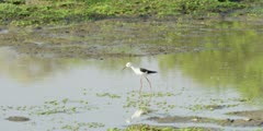 Black-winged stilt - foraging in shallow pool, wide shot