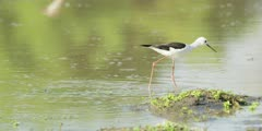 Black-winged stilt - foraging in shallow pool, medium wide 2
