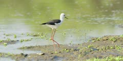 Black-winged stilt - foraging in shallow pool, medium wide 3