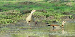 Egyptian goose - pair in puddle