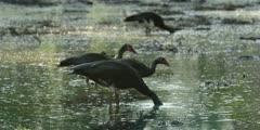 Spur-winged goose - flock feeding, heads in water, medium wide
