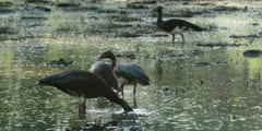 Spur-winged goose - flock feeding, heads in water, medium wide 2