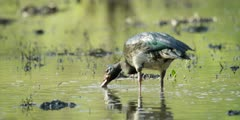 Spur-winged goose - bird feeding, head in water, medium shot