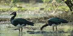 Spur-winged goose - pair feeding in the shallows