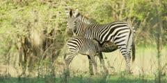 Zebra - foal suckling, medium shot