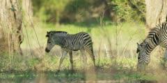 Zebra - foal and mother, medium shot