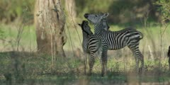 Zebra - foal and sibling showing affection