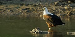 African fish eagle - standing in stream, medium shot
