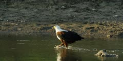 African fish eagle - walking along stream, drinking, medium shot
