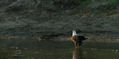 African fish eagle - standing in water, medium wide shot
