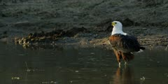 African fish eagle - standing in water, medium shot