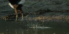 African fish eagle - standing in water, flies away, medium shot