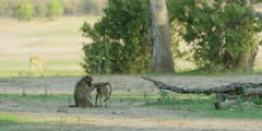 Chacma Baboon - adult grooming youngster, wide shot