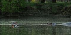 Hippo - pod in pool, medium shot