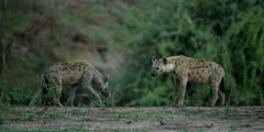 Hyena - pair on edge of pool, one standing, other walks into frame, medium wide shot