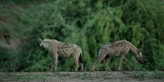 Hyena - pair on edge of pool, standing, one walks away