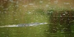 Nile crocodile swimming