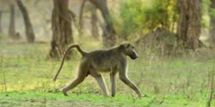 Chacma Baboon - pan of big male walking on forest floor, medium shot
