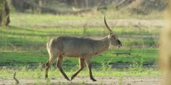 Waterbuck - walking, medium. panning shot