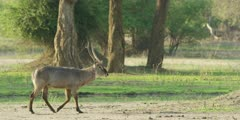 Waterbuck - walks through frame, medium wide