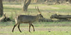 Waterbuck - walking, medium, panning shot