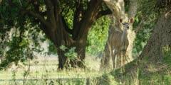 Greater kudu - standing on anthill, medium wide shot