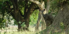 Greater kudu - standing on anthill, medium wide shot 2
