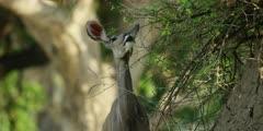 Greater kudu - standing on anthill, close shot 2