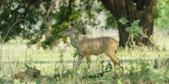 Greater kudu - young animal, looking toward camera then walks, medium shot