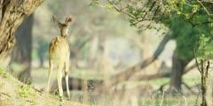 Greater kudu - young animal walking away