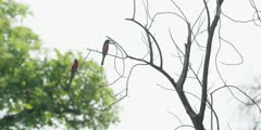 Carmine bee-eater - pair in tree
