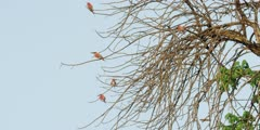 Carmine bee-eater - flock in tree, wide