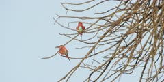 Carmine bee-eater - pair in tree, medium