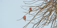Carmine bee-eater - pair in tree, medium 2