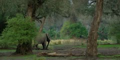 African Elephant - large bull wide shot