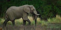 African Elephant - large bull walking