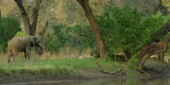 African Elephant - pan from pool to elephant grazing, wide shot