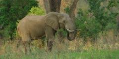 African Elephant - large bull grazing, medium shot