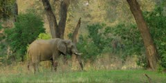 African Elephant - large bull grazing, wide shot