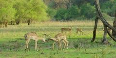 Impala - bachelors fighting 2