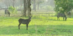 Waterbuck - walking away, wide