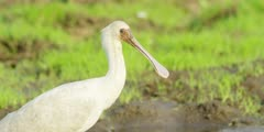 Spoonbill - searching for food, medium close shot