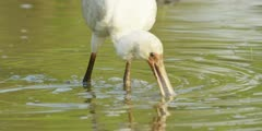 Spoonbill - searching for food, medium close shot 2